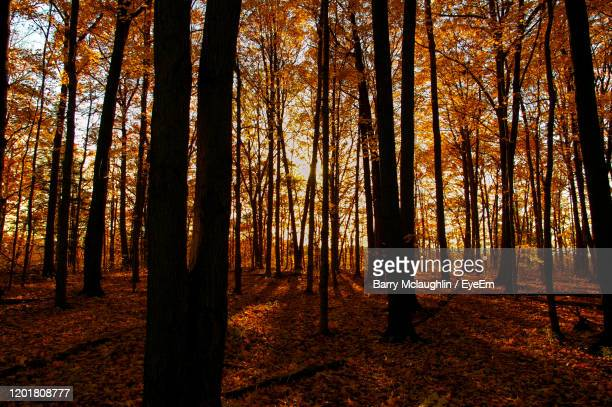 sunlight streaming through trees in forest during autumn - barry wood stock pictures, royalty-free photos & images