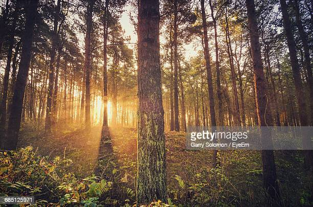 Sunlight Streaming Through Trees In Forest During Sunrise