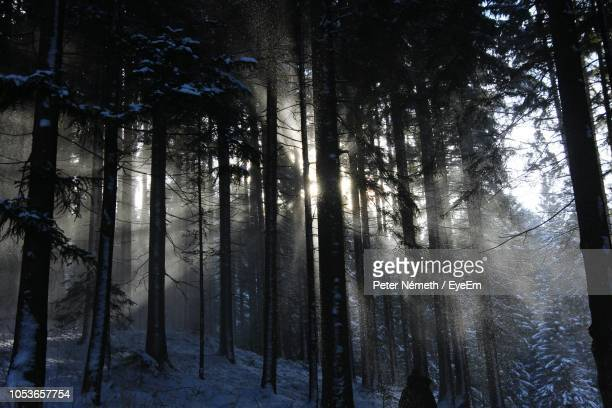 sunlight streaming through trees in forest during winter - pinaceae stock pictures, royalty-free photos & images