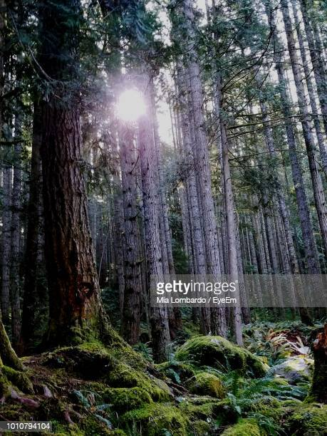 sunlight streaming through trees in forest - mia woods photos et images de collection
