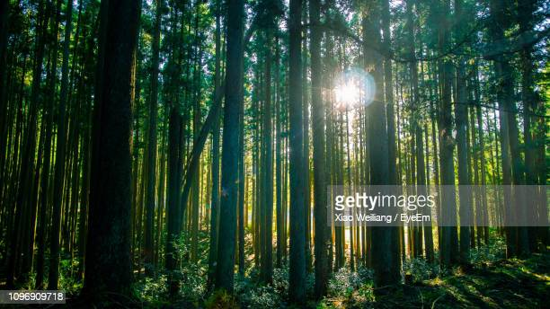 sunlight streaming through trees in forest - 奈良市 ストックフォトと画像