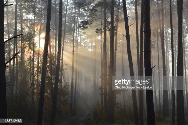 sunlight streaming through trees in forest - oleg prokopenko stock pictures, royalty-free photos & images