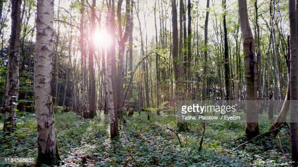 sunlight streaming through trees in forest - tetbury stock pictures, royalty-free photos & images