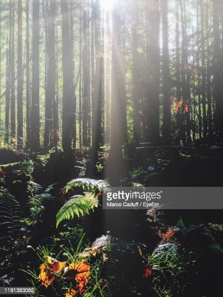 sunlight streaming through trees in forest - berchtesgaden stock pictures, royalty-free photos & images