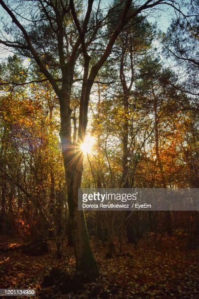 sunlight streaming through trees in forest - king's lynn stock pictures, royalty-free photos & images