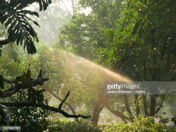 sunlight streaming through trees in forest - jeremy monaro stock pictures, royalty-free photos & images