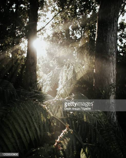 sunlight streaming through trees in forest - kailua stock pictures, royalty-free photos & images