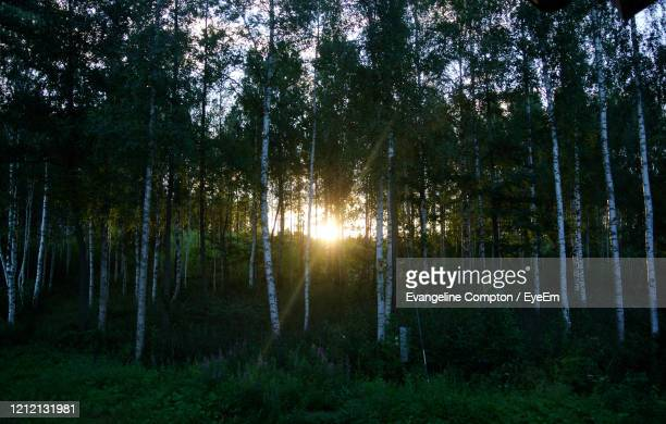 sunlight streaming through trees in forest - forrest compton stock pictures, royalty-free photos & images