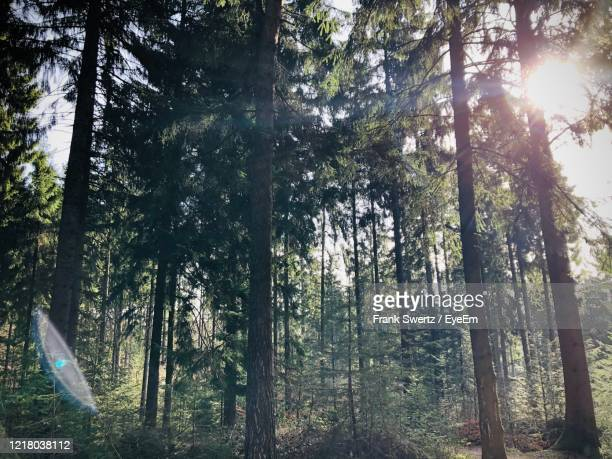 sunlight streaming through trees in forest - frank swertz stock pictures, royalty-free photos & images