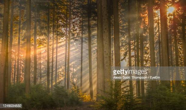 sunlight streaming through trees in forest - europe stock pictures, royalty-free photos & images