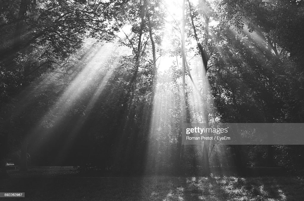 Sunlight Streaming Through Trees In Forest : ストックフォト
