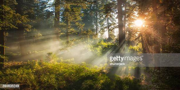 sunlight streaming through trees, san bernardino national forest, california, usa - national forest stock pictures, royalty-free photos & images