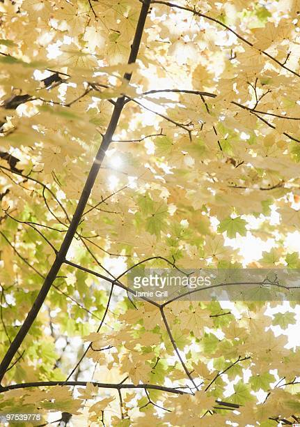 Sunlight through autumn leaves