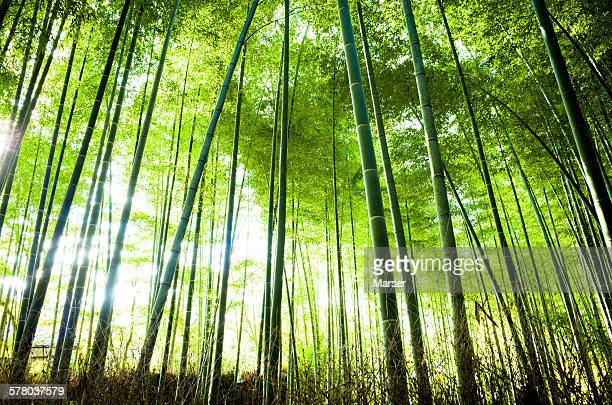 Sunlight through bamboo grove