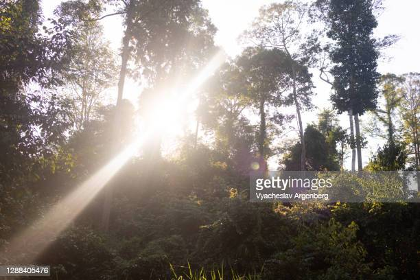 sunlight through dipterocarp trees, tropical rainforest in maliau basin, borneo, malaysia - argenberg stock pictures, royalty-free photos & images