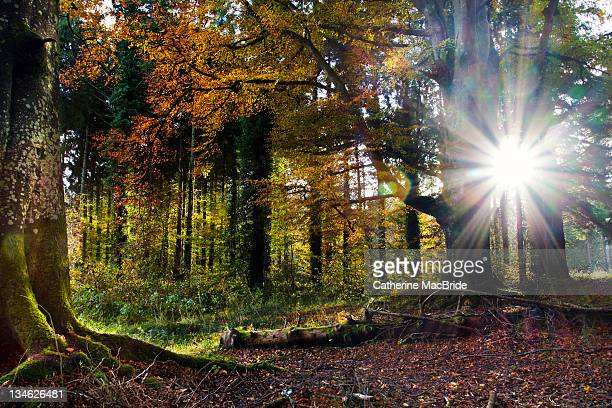 sunlight through forest - kildare stock photos and pictures