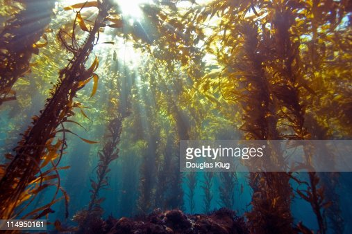 Sunlight through kelp forest