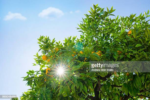 Sunlight through leaves of a fruiting orange tree