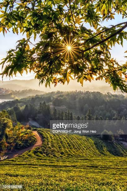 sunlight through leaves on the hilltop of the tea farm - corée photos et images de collection