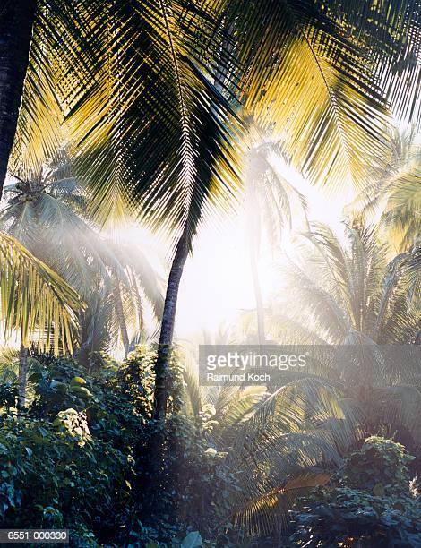 Sunlight through Palms