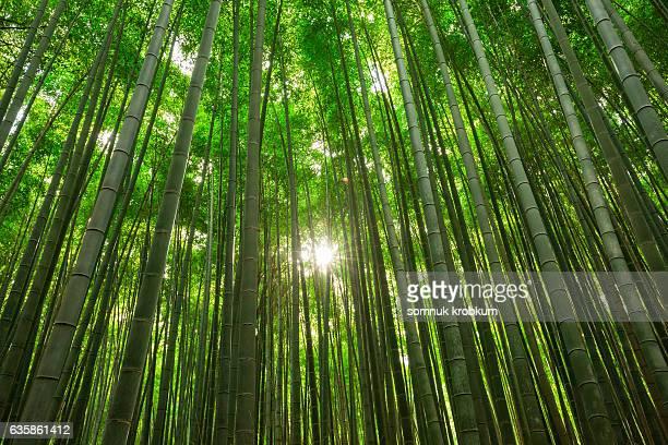 Sunlight through the bamboo grove in morning