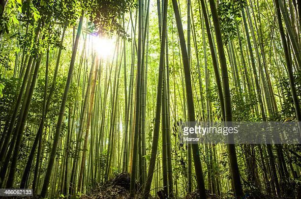 sunlight through the bamboo grove
