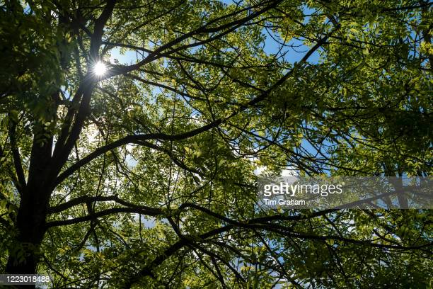Sunlight through the leaves and branches of a deciduous Common Ash tree - Fraxinus - on a sunny warm day in Springtime in the Cotswolds, England. .