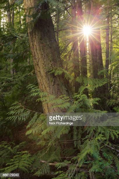 sunlight through the trees on mt rose swanson, armstrong, british columbia, canada - kieferngewächse stock-fotos und bilder