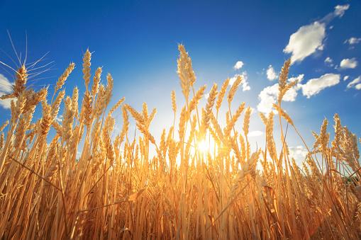 Sunlight through the wheat ears on a field against sunset sky. 1093175658
