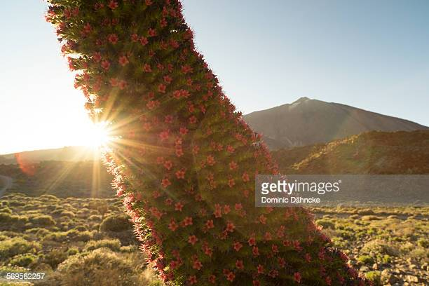 sunlight with red flowers and mountain - pico de teide stock pictures, royalty-free photos & images