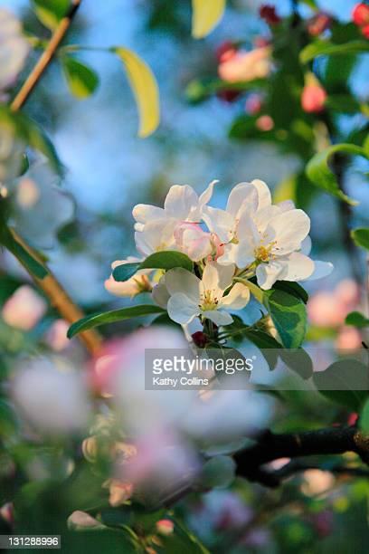 Sunlit  apple blossom