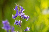 Sunlit Bluebells with a shallow depth of field