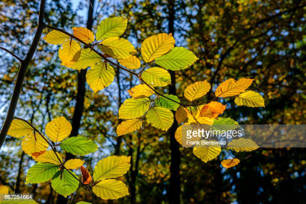 BAD SCHANDAU SAXONY GERMANY Sunlit colorful leafes of beech trees in a forest in autumn