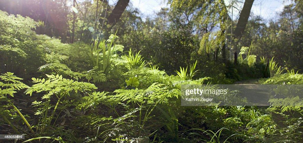 sunlit fern, panoramic image : Stock Photo