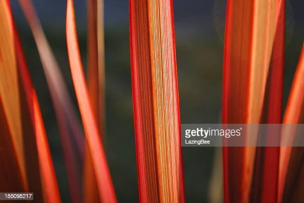 Sunlit Harakeke Leaves (NZ Flax)