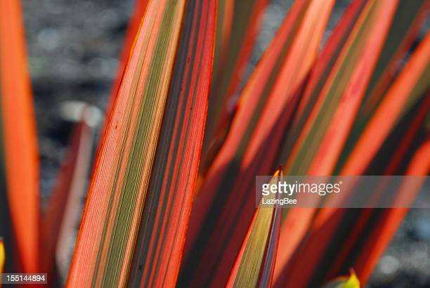 Sunlit Harakeke Leaves (NZ Flax)