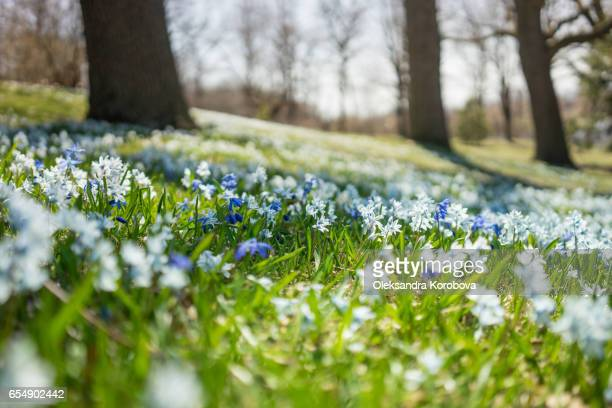 Sun-lit meadow with blue and white spring flowers