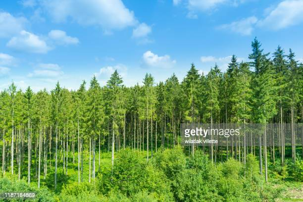 sunlit natural spruce tree forest - grove stock pictures, royalty-free photos & images