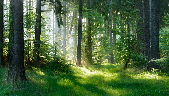 Sunlit Natural Spruce Tree Forest 537361232
