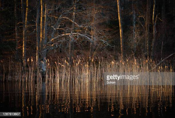 sunlit reeds on a lake shore with forest in the evening in winter - rivage photos et images de collection