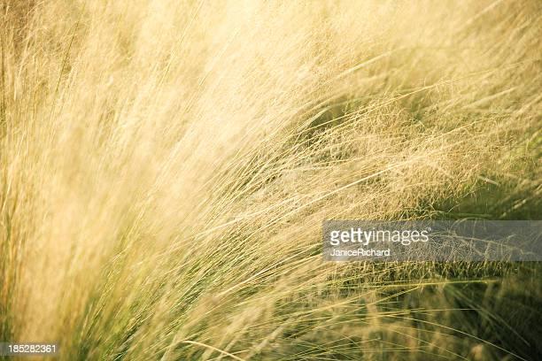 Sunlit Tall Grass in Meadow