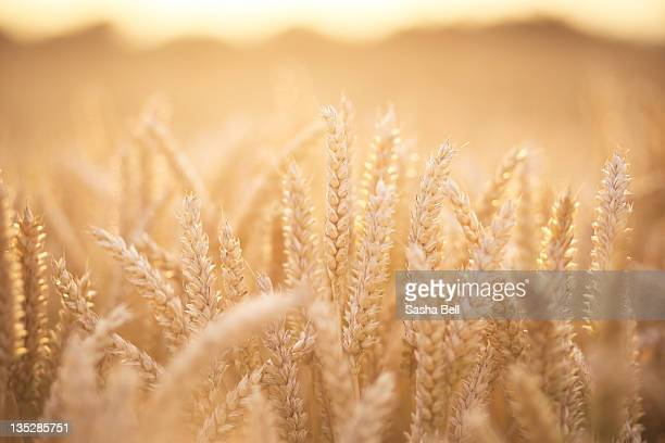 sunlit wheat field - wheat stock pictures, royalty-free photos & images