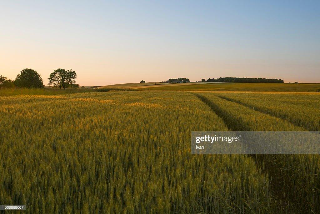 Sunlit (Sunset) wheat field (wheatland) : Stock Photo