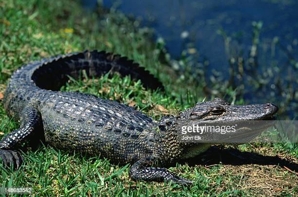 sunning alligator at the jungle garden, avery island - los angeles, california - crocodile photos et images de collection