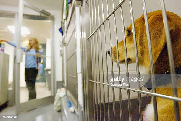 Sunny a Welsh Corgi waits in his cage on May 25 2004 at an American Society for the Prevention of Cruelty to Animals kennel in New York City The...