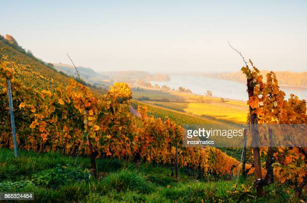 Sunny autumn vineyard in Germany