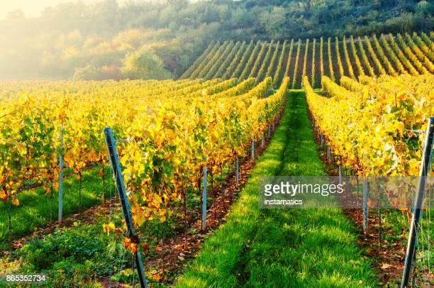 Sunny autumn vineyard in Germany