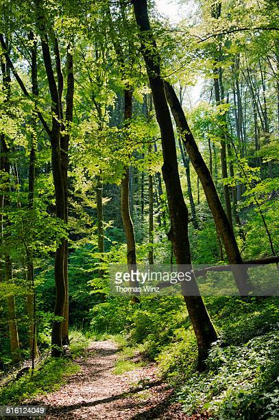sunny beech tree forest - deciduous tree stock pictures, royalty-free photos & images