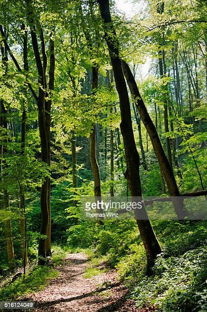 sunny beech tree forest - árbol de hoja caduca fotografías e imágenes de stock