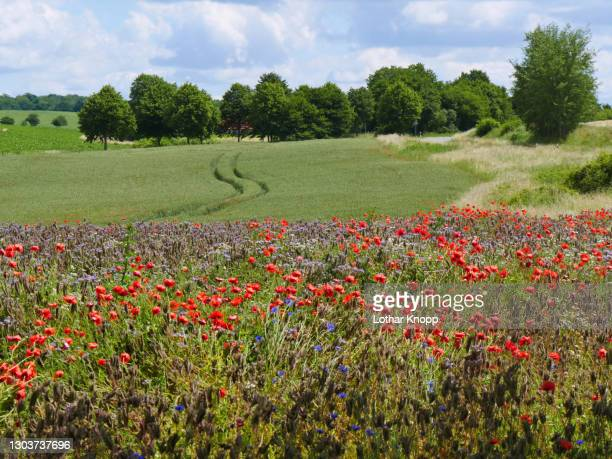 sunny corn field with poppy strip near a narrow road in the region of mecklenburgische schweiz, northern germany - biodiversity stock pictures, royalty-free photos & images